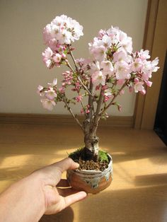 bonsai... http://item.rakuten.co.jp/minibonsai/dfad1r/