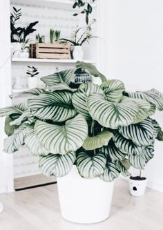 calathea whitestar - patterned plants