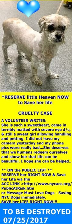 SAFE 7-27-2017 by Anarchy Animal Rescue --- SUPER URGENT Manhattan Center HEAVEN – A1119249  **HOLD FOR LEGAL**  FEMALE, CREAM, SHIH TZU MIX, 8 yrs STRAY – ONHOLDHERE, HOLD FOR LEGAL Reason STRAY Intake condition EXAM REQ Intake Date 07/21/2017  http://nycdogs.urgentpodr.org/heaven-a1119249/
