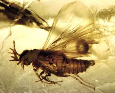 Baltic amber (50 MYO) - extremely rare Strepsiptera, Mengeidae, Mengea tertiaria - 2 mm. | par leth.damgaard