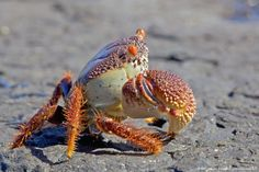 Image detail for -Portrait of Crab on beach, Dwesa Nature Reserve, Eastern Cape Province, South Africa