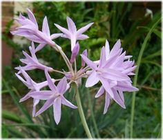 Tulbaghia violacea variegata: Society Garlic.  A sweet little perennial with dainty grass-like foliage, bright white on the margin with light purple flowers.  Grows in tight clumps about a foot tall.  Great along borders and paths, and sets off darker accent stones. #rockgarden