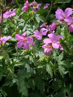 2 ORGANIC NORFOLK WILD FLOWERS.HERB ROBERT ROOT SYSTEM,HERBAL CANCER AID