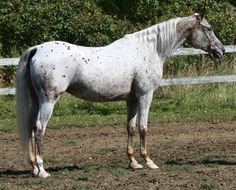 Araappaloosa 5 by FantasyDesignStock on deviantART Pretty Horses, Beautiful Horses, Simply Beautiful, Appaloosa Horses, Arabian Horses, Horse Coat Colors, Welsh Pony, American Quarter Horse, All About Horses