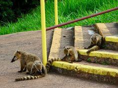 Iguazu falls: which side to visit? Iguazu Falls, South America, Kangaroo, Animals, Baby Bjorn, Animales, Animaux, Animal Memes, Animal