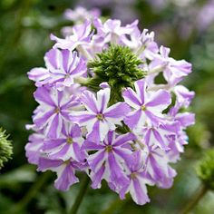 Verbena is a spreading plant ideal for cascading over retaining walls, pots, baskets, and window boxes. As log as the soil is extremely well drained, verbena will reward gardeners with countless clusters of small blooms all season.