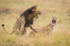Mating Lions. | Masai Mara. | Kenya. |   www.ingogerlach.com