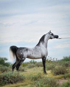 El Chall WR (MAGNUM CHALL HVP x MAJOR LOVE AFFAIR) 2008 Grey stallion North Arabians - where the dreams come true