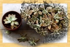 Kezdőlap - gazigazito.hu Succulents, Plants, Succulent Plants, Plant, Planets