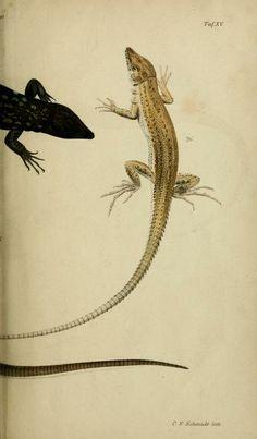 Untersuchungen über das Variiren der Mauereidechse : - Biodiversity Heritage Library