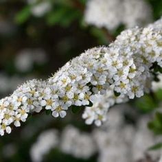Spiraea 'Arguta' - known as bridal wreath. Dense shrub with saucer-shaped white flowers in spring. Meadow Flowers, Bulb Flowers, Wildflowers, Winter Flowers, Seasonal Flowers, Color Verde Claro, Wildwood Flower, Natural Bouquet, List Of Flowers