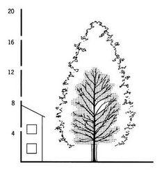 Alnus glutinosa - Wuchsform