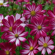 ORDERED: Cosmos Peppermint Candy--blooms 8-12 weeks after sowing.  A shorter Cosmos-- DEFINITELY trying this out this summer!