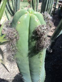 Super Pedro (Trichocereus Scopulicola) Super Pedro (Trichocereus Scopulicola) The Super Pedro is a very interesting Scopulicola cultivar! It is probably synonymous or extremely closely related t