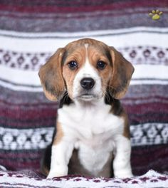 Princess - Beagle Puppy