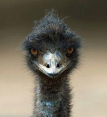 Emu, the largest bird native to Australia. Aboriginal Culture, Aboriginal People, Ostriches, Australian Animals, Animals Of The World, Magical Creatures, Bird Feathers, Pet Birds, Bald Eagle