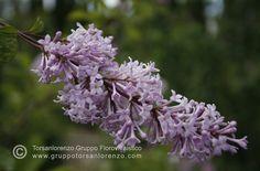 #syringa #vulgaris #flower #beauty #plant