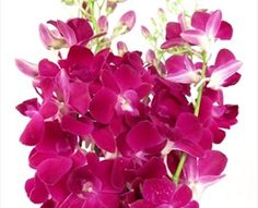 Miss Singapore - Dendrobium - Orchids - Flowers by category | Sierra Flower Finder