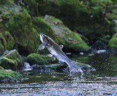 WunderPhotos® Uploaded by: KTNphotos — Sunday September 15, 2013 — Ketchikan, AK   Salmon headed upstream to spawn.