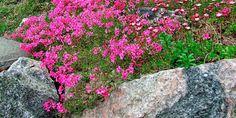 planter som tåler vind - STEINBED: Fjellhagen er et godt utgangspunkt for steinbed. Velg ulike lavtvoksende stauder som tåler litt vind.