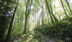 Forest Park trail in Portland...Wildwood Trail