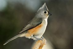 Tufted titmouse 3-10-18