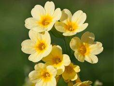 Cowslip Primrose Who needs sunshine when you have a carpet of yellow or red flowers with crinkled bright-green foliage?