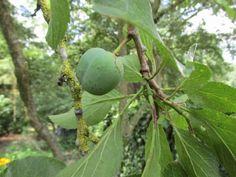 Een pruimenboom snoeien - Groene Passies