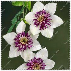 200 pcs/bag climbing clematis seeds,perennial courtyard bonsai flower seeds for home garden