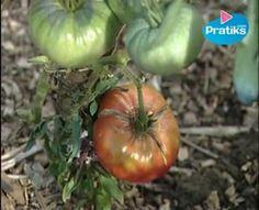 Quatrième et dernière étape avant la dégustation : Entretenir son plant de tomates !