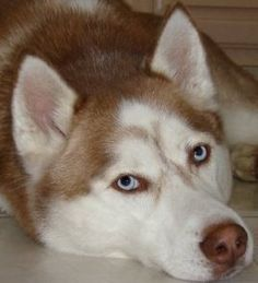 Thinking about #adopting a #Siberian #Husky, but don't live in #Florida? Use…
