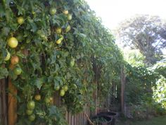 passion fruit growing on a fence