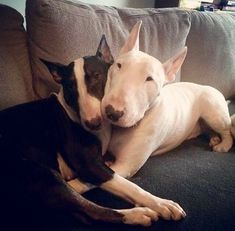 Uplifting So You Want A American Pit Bull Terrier Ideas. Fabulous So You Want A American Pit Bull Terrier Ideas. Mini Bull Terriers, English Bull Terriers, Bull Terrier Dog, Miniature Bull Terrier, Beautiful Dogs, Animals Beautiful, Cute Animals, Best Dog Breeds, Best Dogs