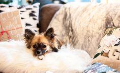 Chihuahuaen koser seg på juleputen