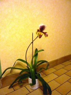 Sabot de vénus en fleur