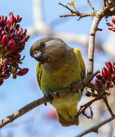 Brown headed Parrot (Poicephalus cryptoxanthus)