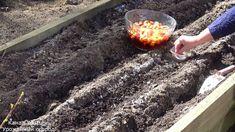 Ako prvé je najdôležitejšie odhadnúť to správne obdobie na výsadbu cibule. Ak pestujete aj cesnak, ten vám napovie. Keď majú výhonky cesnaku asi 5 - 7 cm, je pôda dostatočne teplá na výsadbu cibule. Ak … Small Farm, Farm Gardens, Soda, Outdoor Decor, Home Decor, Youtube, Onion, Garlic, Plant
