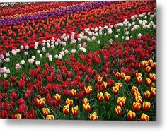 Keukenhof Colorful Floral Ribbons 1 Metal Print by Jenny Rainbow. All metal prints are professionally printed, packaged, and shipped within 3 - 4 business days and delivered ready-to-hang on your wall. Choose from multiple sizes and mounting options. Fine Art Prints, Framed Prints, Floral Ribbon, Beautiful Flowers Garden, Gifts For My Wife, Any Images, Daffodils, Botanical Gardens, Spring Flowers
