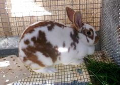 lots of new zealand color varieties Meat Rabbits, Raising Rabbits, Funny Bunnies, Cute Bunny, Mini Rex Rabbit, All About Rabbits, Farm Animals, Cute Animals, New Zealand Rabbits
