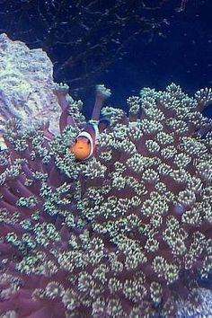 Flower Pot Coral (Goniopora sp.) With An Ocellaris Clown Image