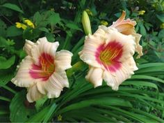 The Daylily Gardens at Annapolis Riviera Gourmet Preserves in Nova Scotia. This one is called 'Pandora's Box', love it!