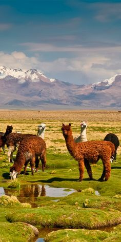 Llamas in Sajama National Park on the Bolivian Plateau