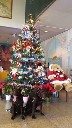レックくん、ジンくん/伊豆高原 わんわんパラダイスホテルにて/メリークリスマス!レック兄ちゃんと一緒です。byじん(0才5か月)