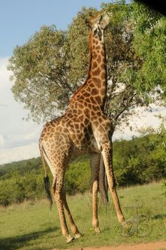Giraffe,  Zebula South Africa Golf Estate, Giraffes, Wild Life, Mother Nature, South Africa, Homes, Places, Beautiful, African Rainforest
