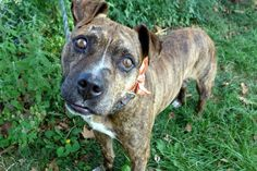 MURDERED 9/3/16 Manhattan center PORTER – A1086626 MALE, BR BRINDLE, PIT BULL MIX, 2 yrs STRAY – STRAY WAIT, NO HOLD Reason STRAY Intake condition EXAM REQ Intake Date 08/22/2016, From NY 11226, DueOut Date 08/25/2016,