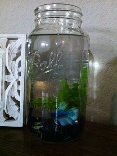 Meet Mason, he's the newest member of our home. Let the betta fish in mason jars trend commence.