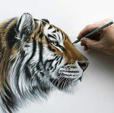 Tiger pencil drawing nearly finished, really enjoyed this Wildlife Paintings, Wildlife Art, Animal Paintings, Animal Drawings, Pencil Drawings, Tiger Sketch, Tiger Drawing, Big Cats Art, Cat Art