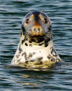 A grey seal in Chatham Harbor on Cape Cod (ZaNiaC/Flickr)