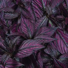 Parks Wholesale Plants - Persian Shield Strobilanthes has been popular since the Victorian Era with it's beautiful purple and silver, lance-shaped leaves. Buy Indoor Plants, Outdoor Plants, Outdoor Flowers, Garden Plants, Neon Purple, Green And Purple, Persian Shield Plant, Purple Petunias, Purple Plants