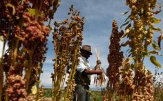 Quinoa is another oh-so-trendy food. But there's trouble ahead for South American farmers. Article from NPR